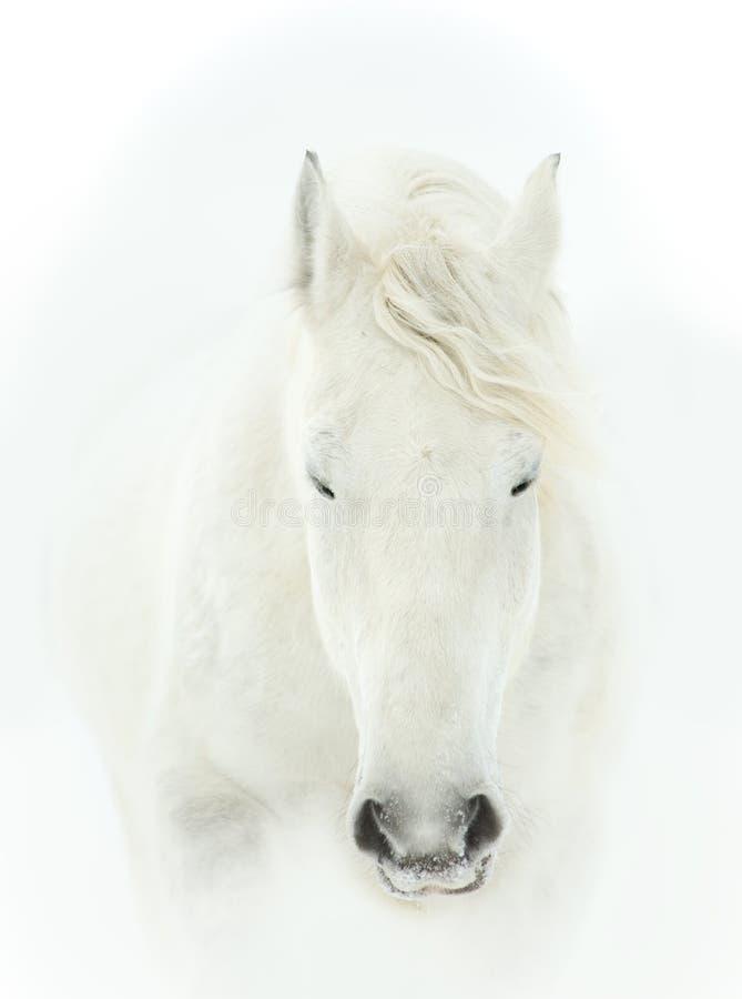Retrato blando del cierre de la cabeza de caballo blanco para arriba imagen de archivo