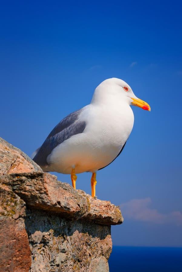 Retrato bonito da gaivota no fundo azul fotografia de stock royalty free