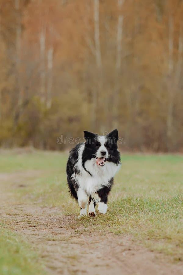 Retrato bonito da mola de border collie preto e branco adorável no parque de florescência fotos de stock