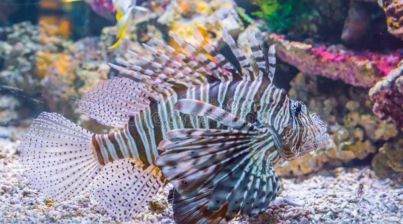 Retrato bonito da vida marinha de um lionfish no animal de estimação tropical perigoso e venenoso do close up dos peixes do ocean imagem de stock royalty free