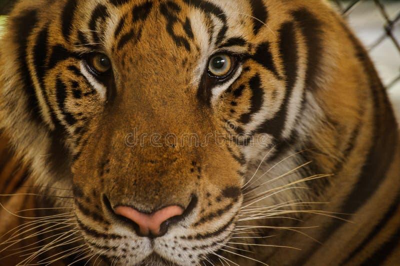 Retrato bonito de tigres de Amur fotos de stock royalty free