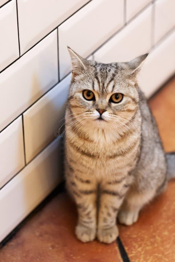 Retrato bonito de um gato britânico de Shorthair o gato olha e espera gato brincalhão que espera um brinquedo Para a decoração e  foto de stock royalty free