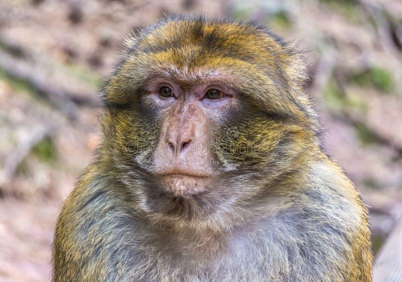 Retrato bonito de um macaco de barbary pensativo ou triste foto de stock