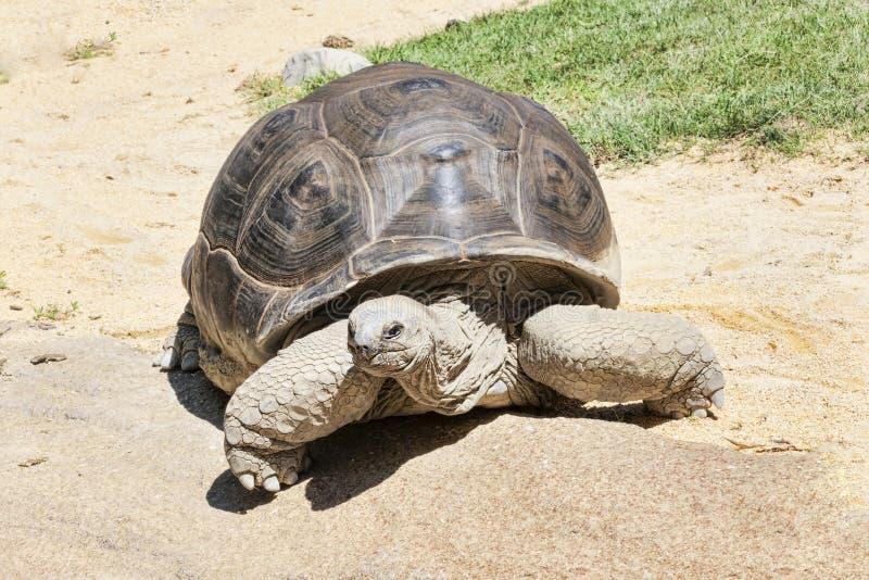 Retrato bonito de uma tartaruga enorme e envelhecida da terra imagens de stock royalty free