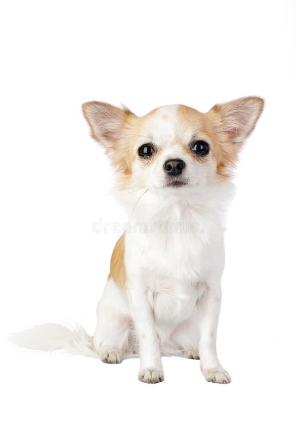 Retrato bonito del perro de la chihuahua aislado fotografía de archivo libre de regalías