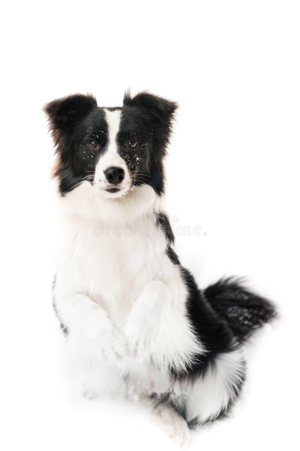 Retrato bonito do cão de border collie no fundo branco foto de stock royalty free