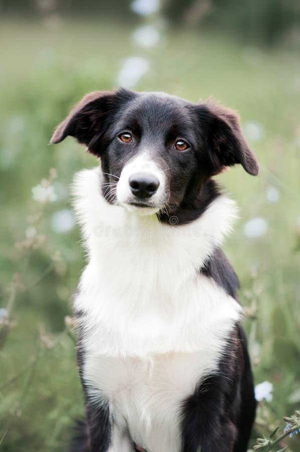 Retrato bonito do filhote de cachorro de border collie imagem de stock royalty free
