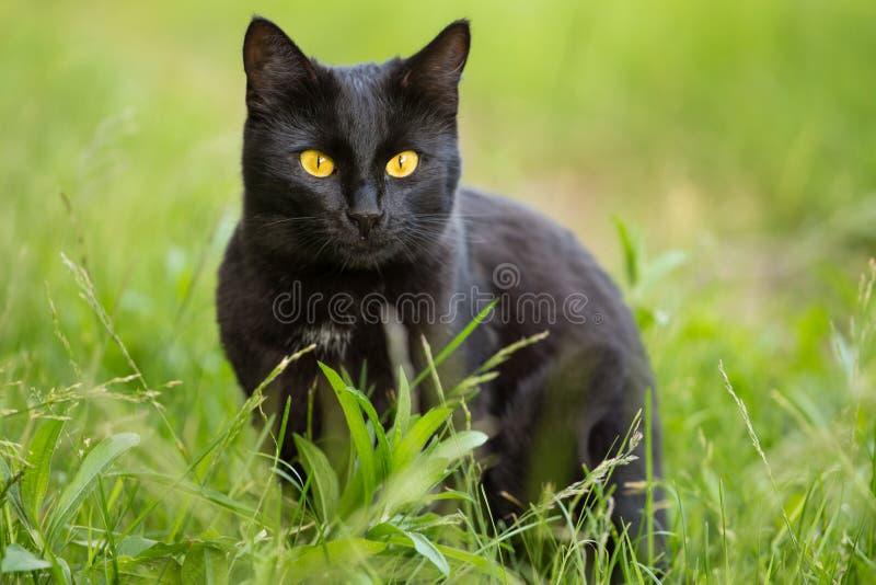 Retrato bonito do gato preto de Bombaim com olhos amarelos e olhar atento na grama verde na natureza foto de stock royalty free