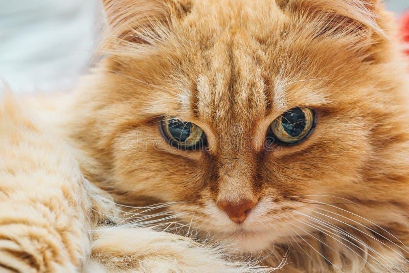 Retrato bonito engraçado do gengibre ou do Rad Cat imagens de stock