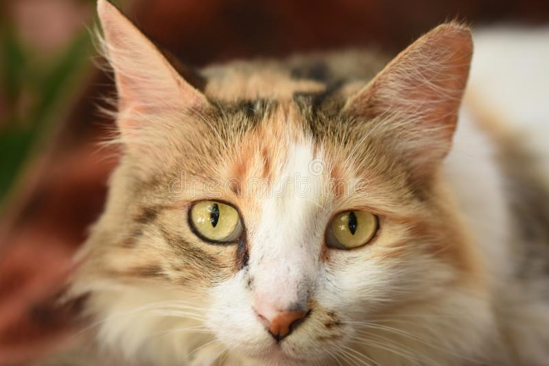 Retrato bonito engraçado do gengibre ou do Rad Cat imagem de stock royalty free