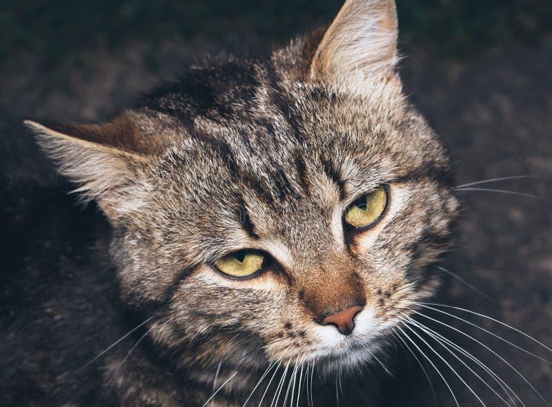 Retrato bonito marrom do gato das listras fotografia de stock