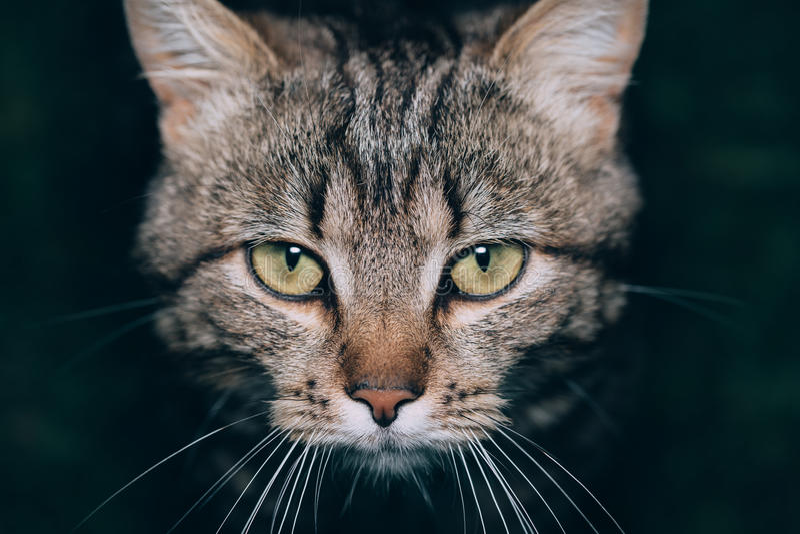 Retrato bonito marrom do gato das listras imagens de stock royalty free