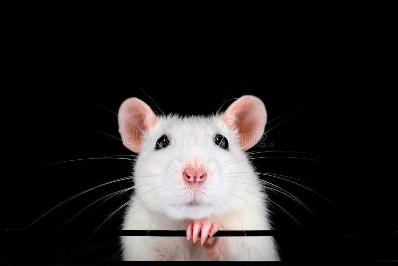 Retrato branco bonito do rato do animal de estimação com fundo preto fotografia de stock