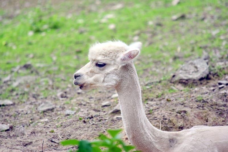Retrato branco da cabeça da alpaca de Pacos do Vicugna fotografia de stock