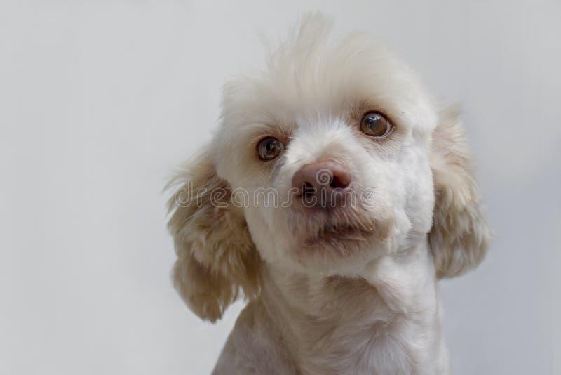 Retrato branco do cão Homem francês do branco da caniche fotos de stock royalty free