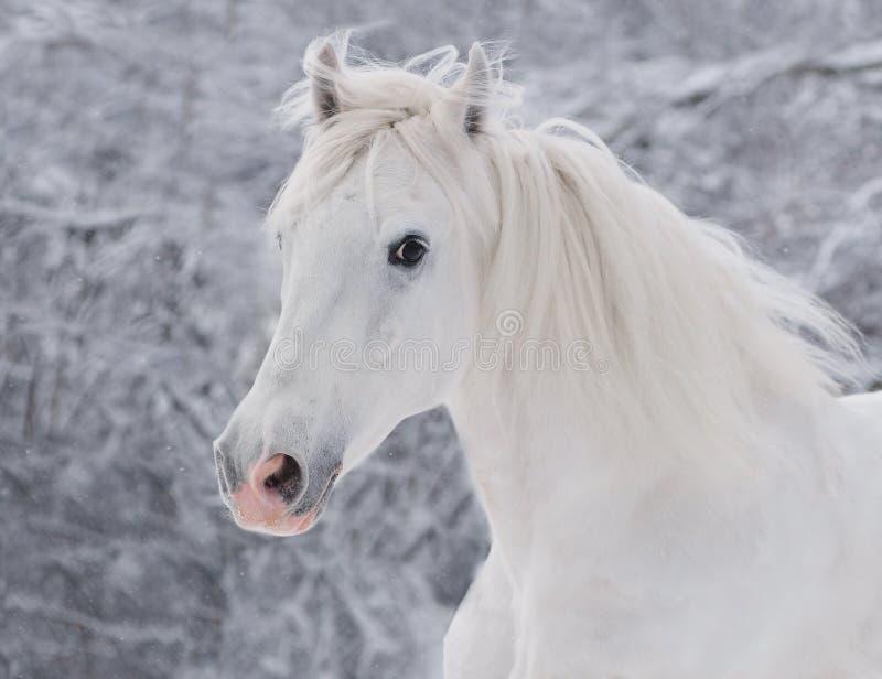 Retrato branco do cavalo do inverno fotografia de stock royalty free