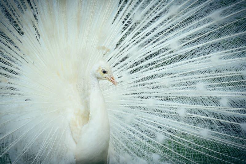 Retrato branco do cristatus do pavo do pavão fotografia de stock