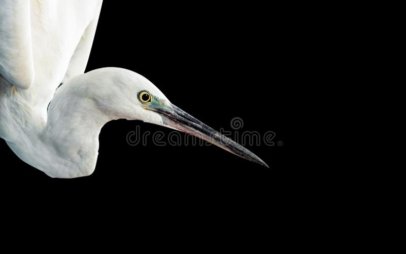 Retrato branco do egret foto de stock
