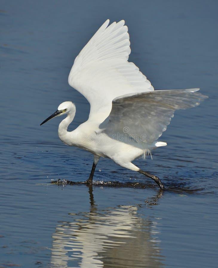 Retrato branco do egret fotos de stock royalty free