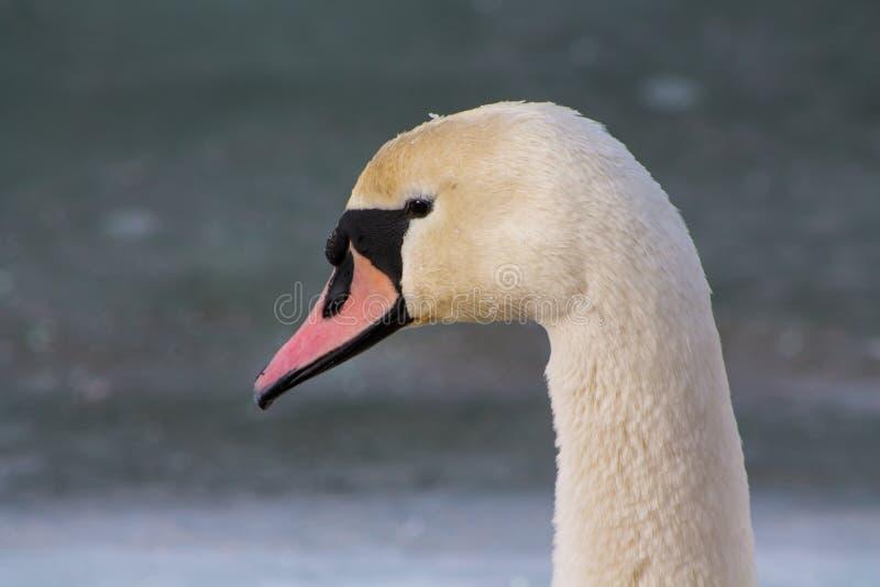 Retrato branco do pássaro da cisne fotografia de stock royalty free