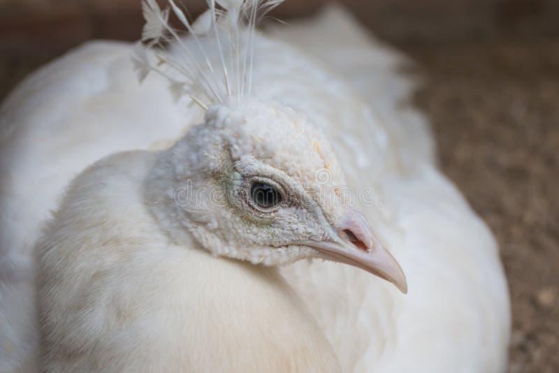 Retrato branco do pavão imagens de stock royalty free