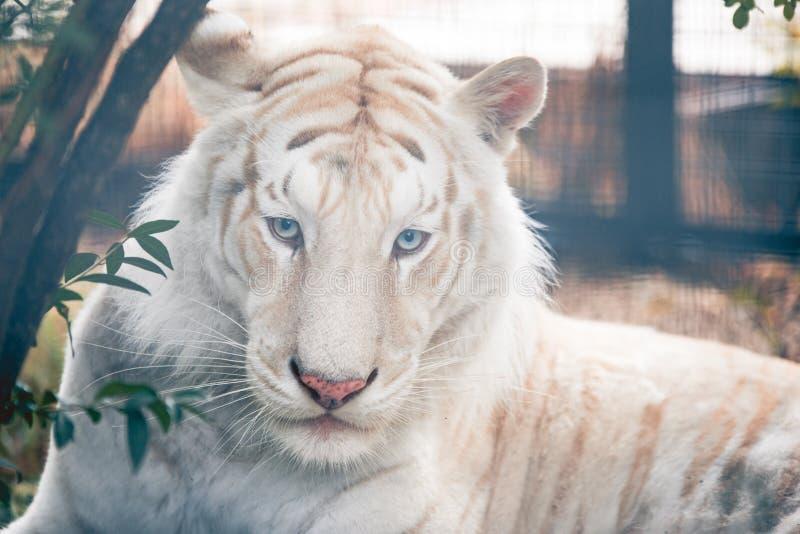 Retrato branco do tigre foto de stock