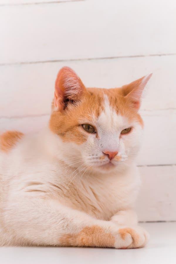 Retrato branco e alaranjado do gato fotos de stock royalty free
