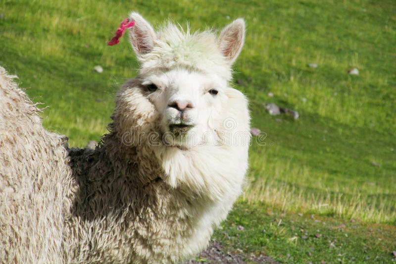 Retrato branco peludo bonito da alpaca foto de stock royalty free