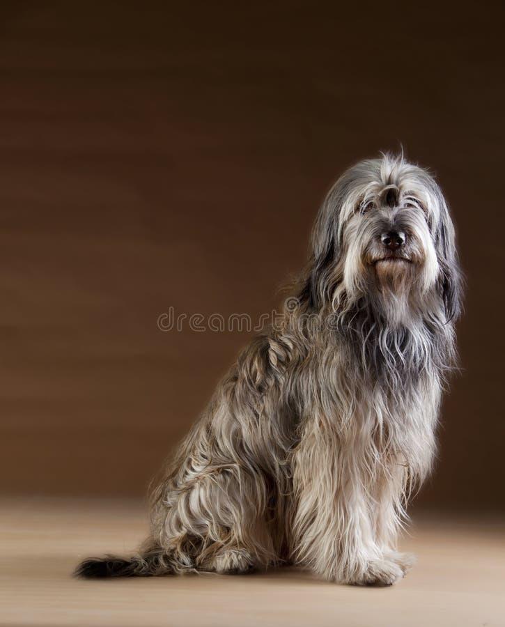 Retrato Catalan do cão pastor imagem de stock royalty free