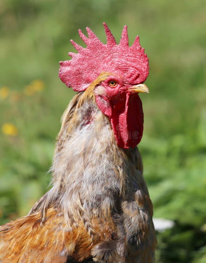 Retrato cercano de un gallo grande con el peine rojo imagen de archivo