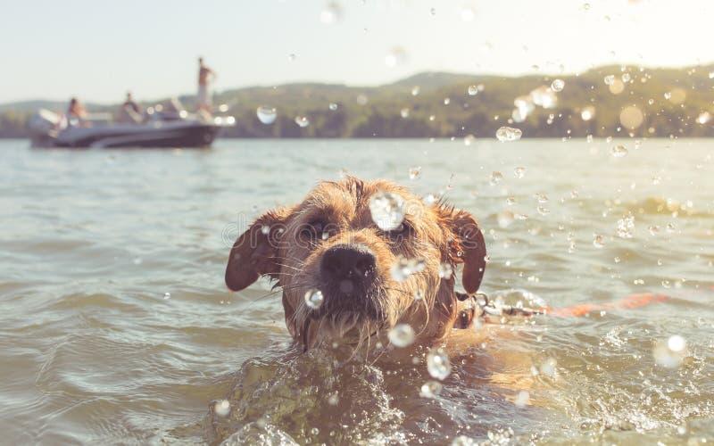 Retrato cercano del perro nadador fotos de archivo