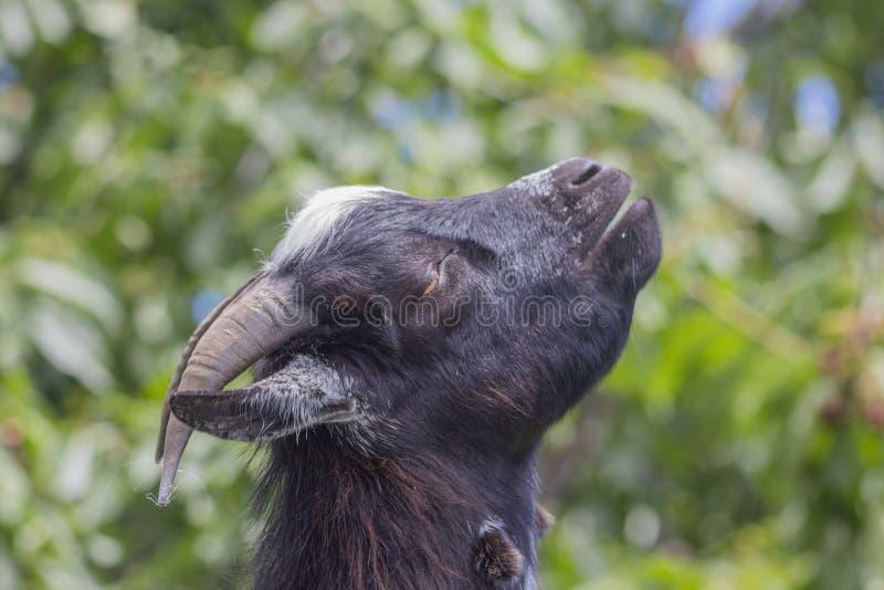 Retrato cercano en el perfil de la mini cabra del Camerún foto de archivo libre de regalías