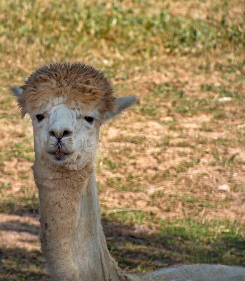 Retrato cercano lindo de una llama Lama Glama Color p?lido imagenes de archivo