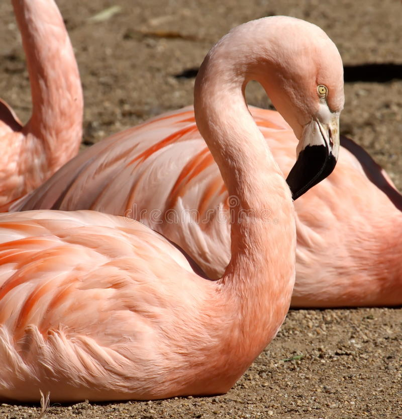 Retrato chileno do flamingo fotografia de stock