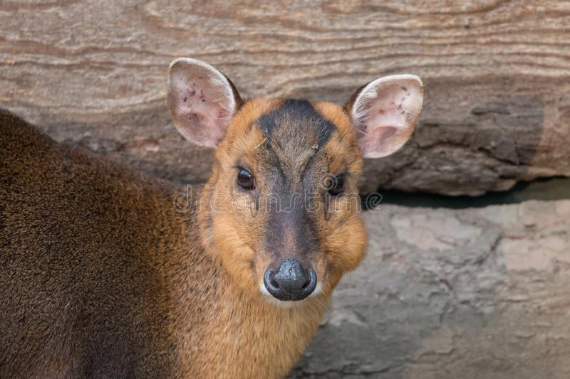 Retrato chinês do close-up da gama do muntjac fotografia de stock royalty free