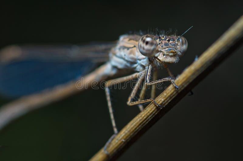 Retrato ciánico de la libélula fotografía de archivo