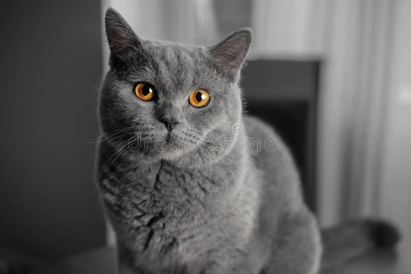 Retrato cinzento britânico bonito do close-up do gato com olhos amarelos fotografia de stock royalty free
