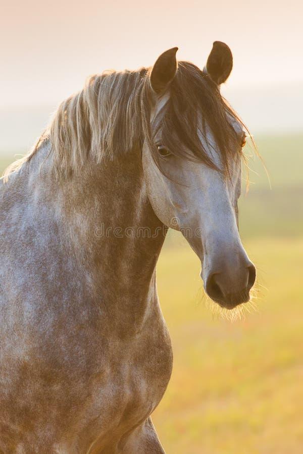Retrato cinzento do cavalo foto de stock royalty free