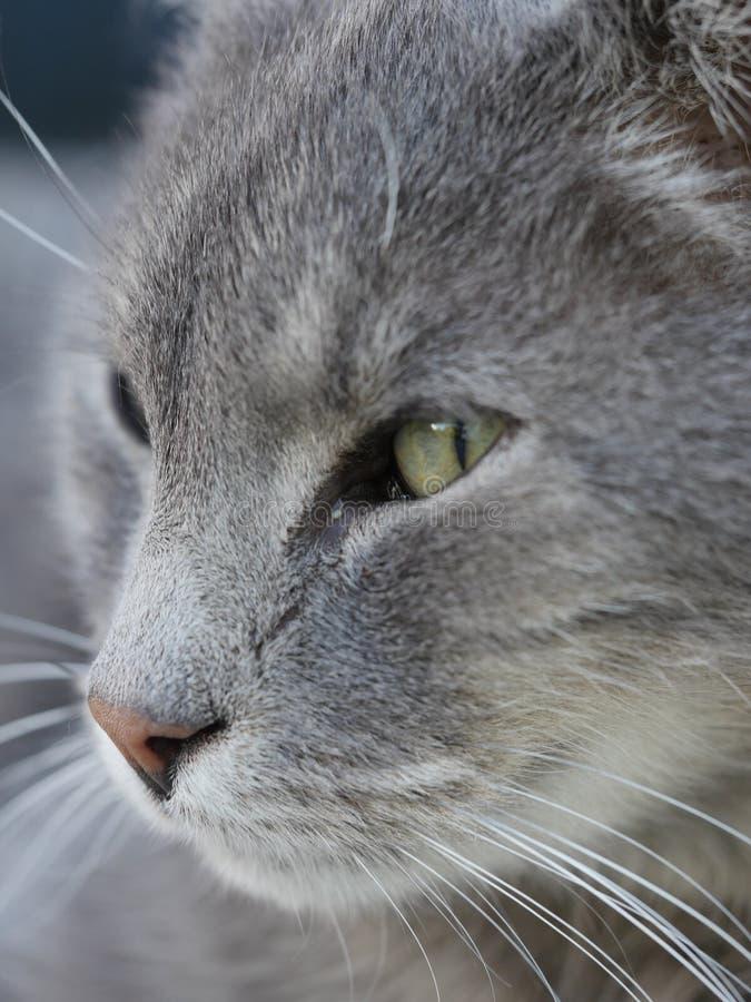Retrato cinzento do gato imagens de stock royalty free