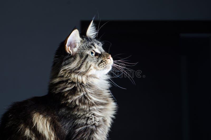 Retrato cinzento e preto do gato de racum de Maine imagem de stock royalty free