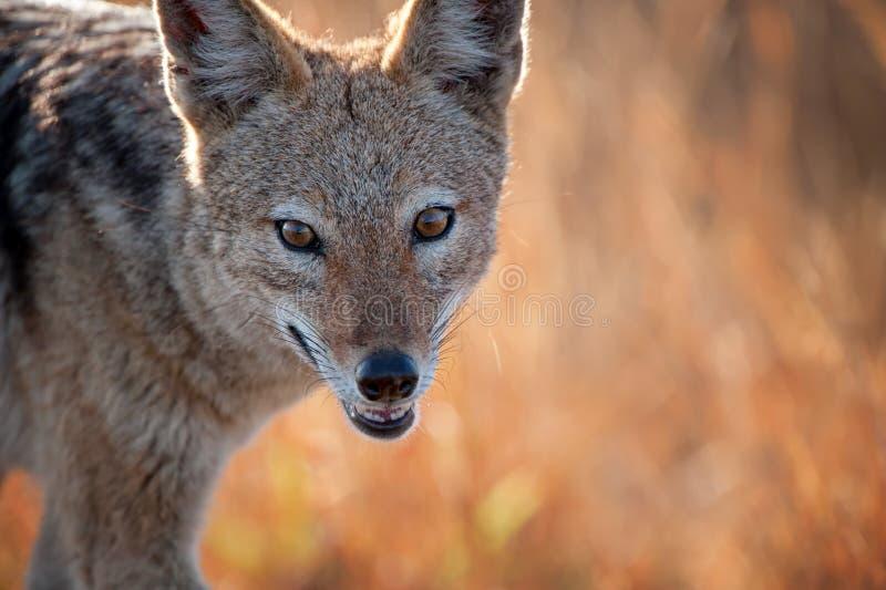 Retrato com o dorso negro do chacal (mesomelas do Canis) fotografia de stock royalty free