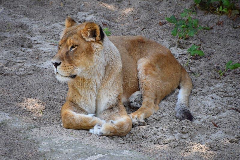 Retrato completo do comprimento da leoa que descansa na terra imagem de stock