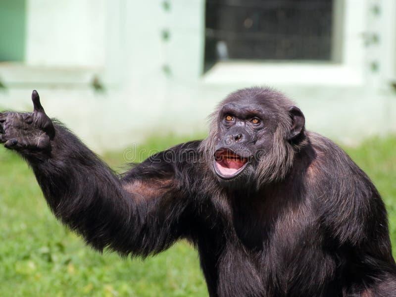 Retrato comum do chimpanzé foto de stock royalty free