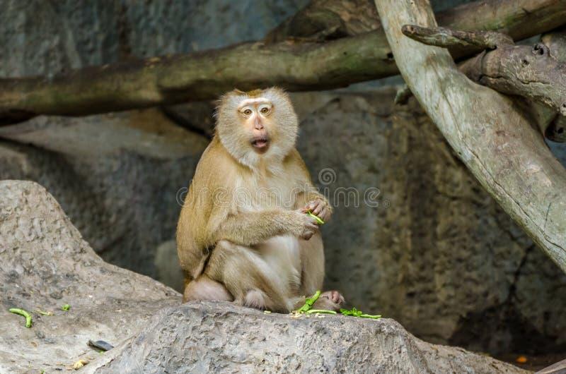 Retrato con coletas del Macaque fotos de archivo