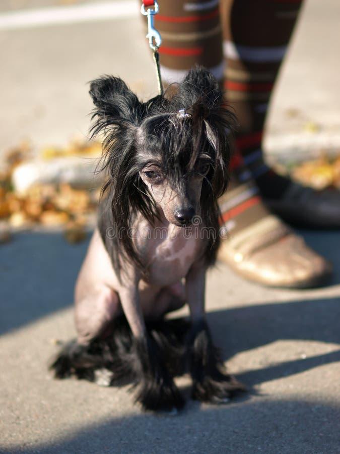 Retrato con cresta chino del perro imagenes de archivo