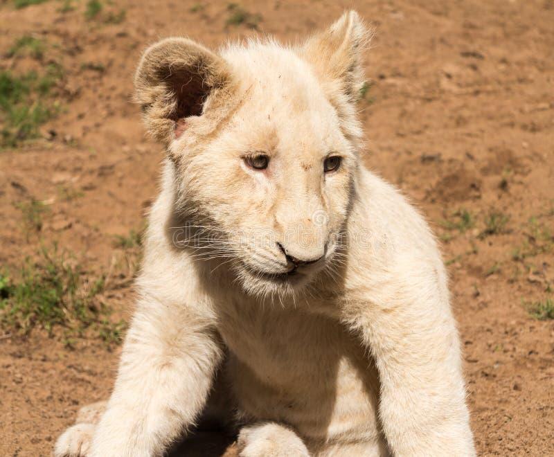 Retrato da África meridional nova pequena do filhote de leão fotografia de stock royalty free