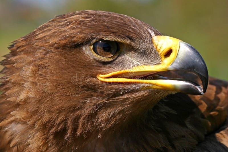 Retrato da águia foto de stock royalty free