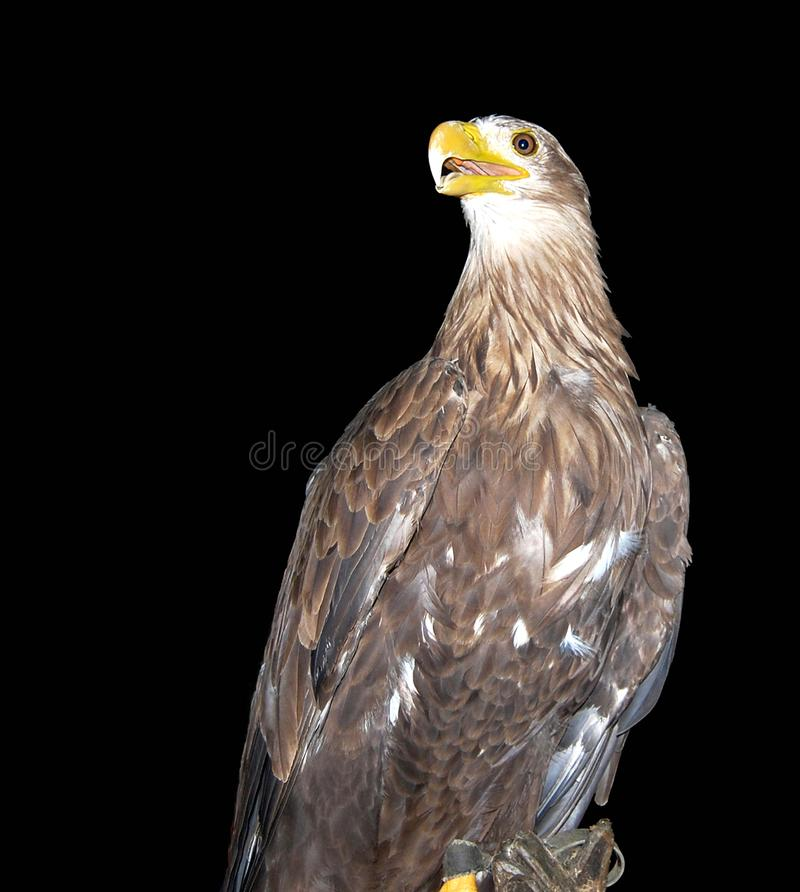 Retrato da águia branco-atada foto de stock