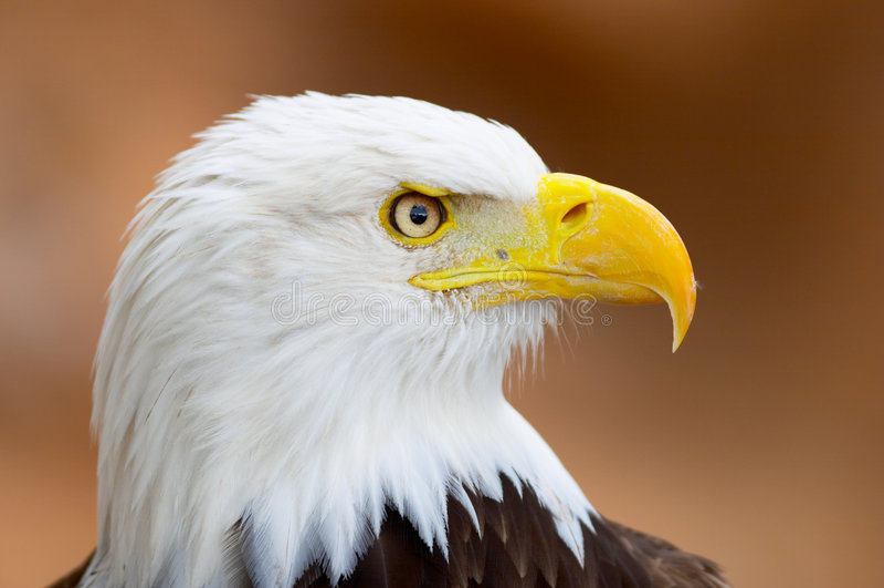 Retrato da águia calva fotografia de stock