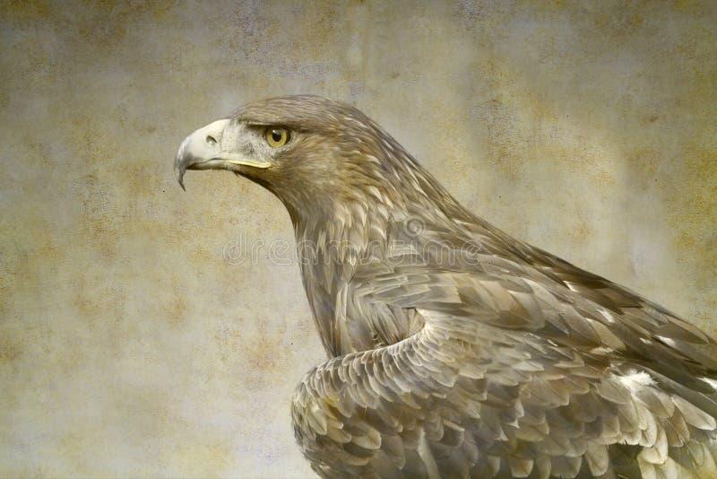 Retrato da águia dourada foto de stock